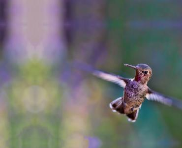 A hummingbird with blurred wings in motion