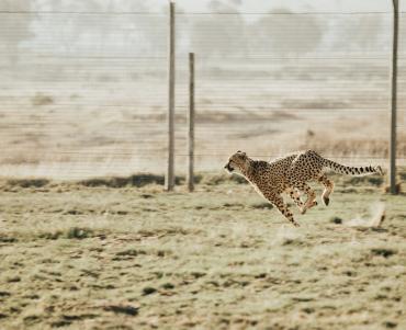sprinting leopard