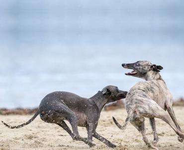 Two greyhounds sprinting across sand