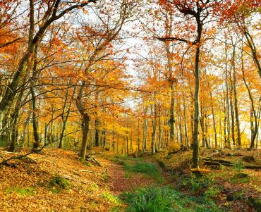 Autumnal forest with a path buried by fallen leaves